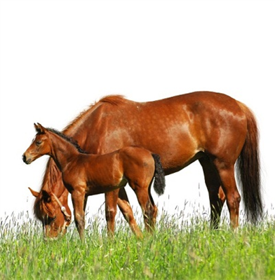 Concerns Grow in Europe over Warmblood Fragile Foal Syndrome